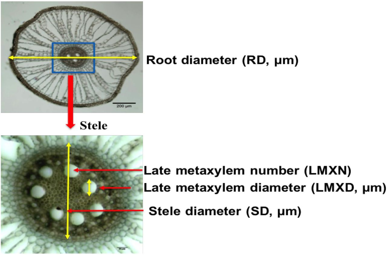 Root Anatomy based on Root Cross-Section Image Analysis with