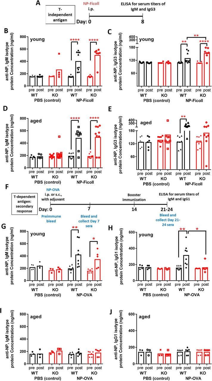 Humoral immune responses after vaccination in young and aged Sost -/- mice A-E) Analysis of T-independent B cell responses: Experimental design (A); Analysis of NP-specific IgM titers and IgG3 titers in young WT and Sost -/- mice (B, C), Analysis of NP-specific IgM titers and IgG3 titers in aged WT and Sost -/- mice (D, E). F-J) Analysis of T-dependent B cell responses: Experimental design (F); Analysis of NP-specific IgM titers and IgG1 titers in young WT and Sost -/- mice (G, H), Analysis of NP-specific IgM titers and IgG1 titers in aged WT and Sost -/- mice (I, J). Asterisks indicate statistical significance: * p