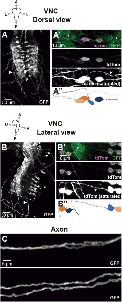 GAL4 drivers specific for Type Ib and Type Is motor neurons in