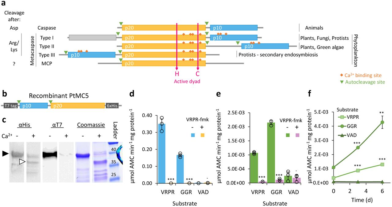 A redox-regulated type III metacaspase controls cell death in a