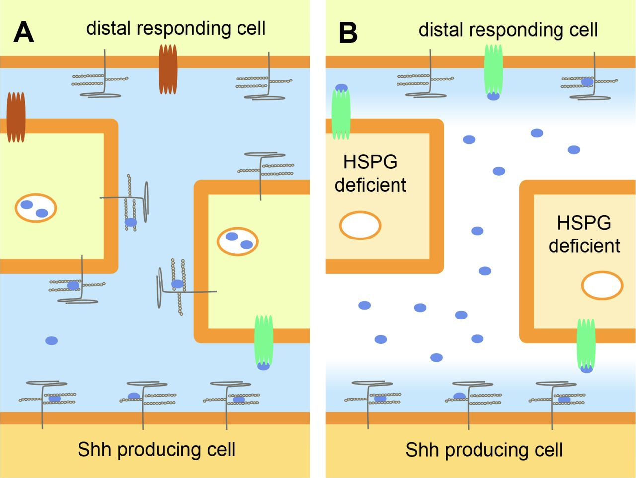 Loss of the Heparan Sulfate Proteoglycan Glypican5 facilitates long