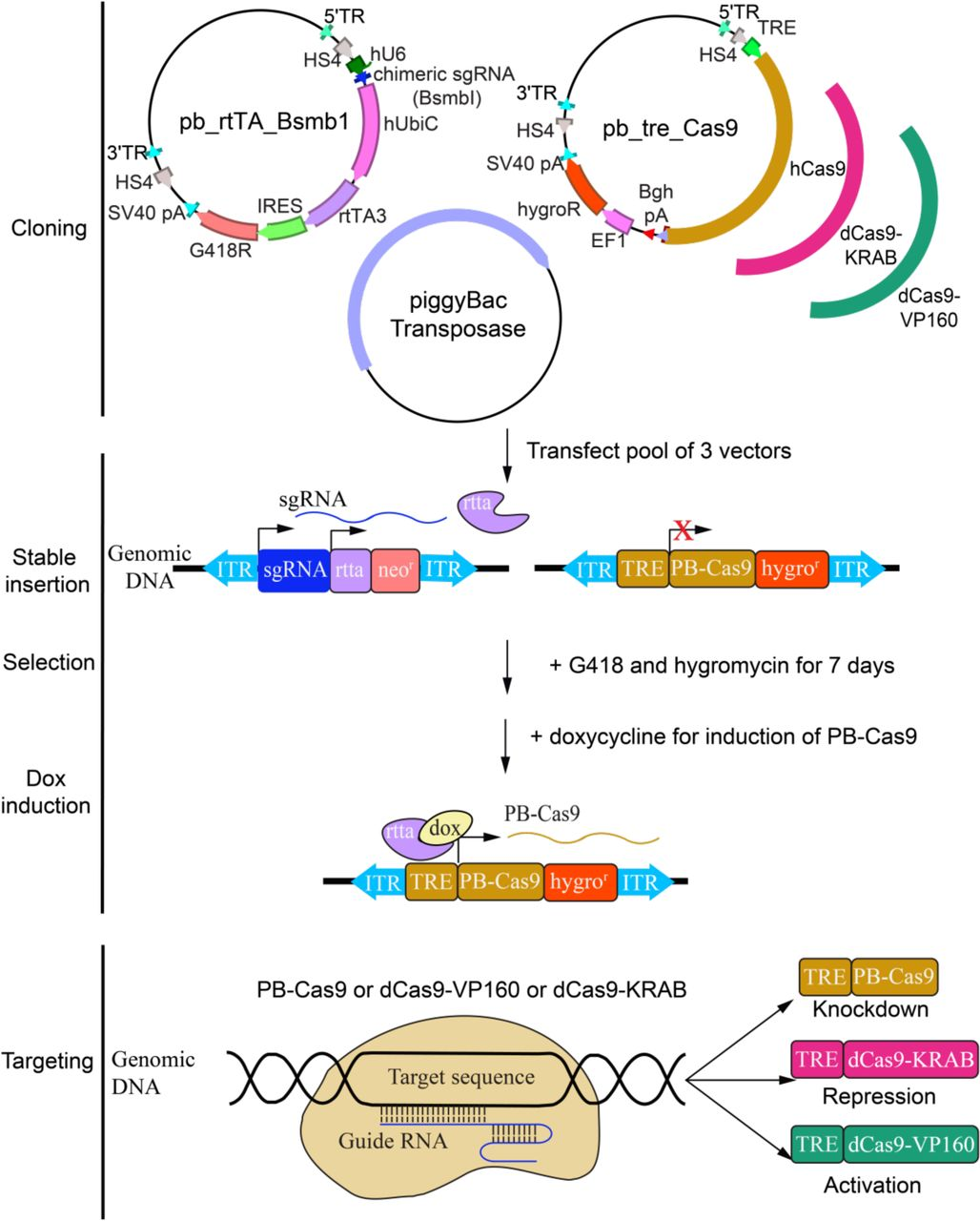 A piggyBac-based toolkit for inducible genome editing in