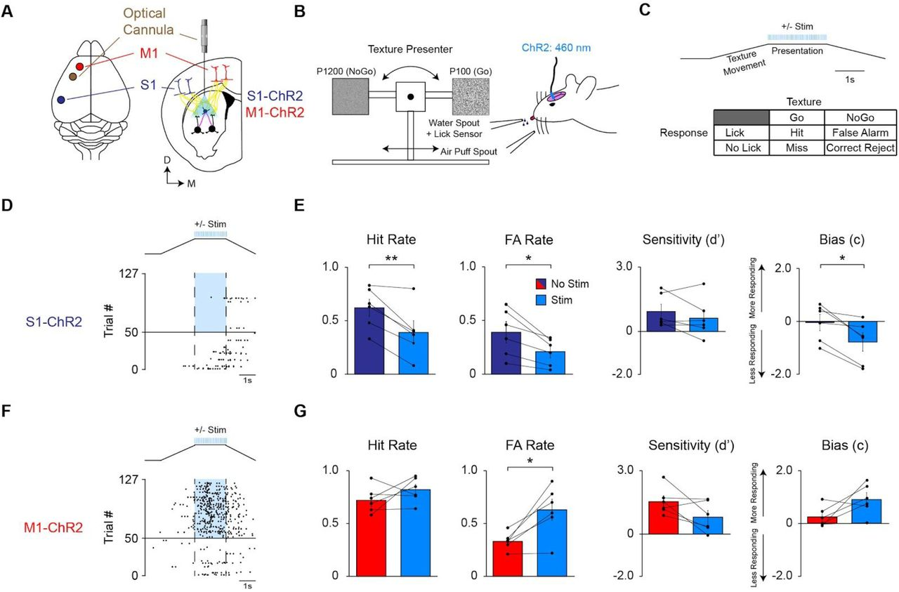 Opposing Influence of Sensory and Motor Cortex on Striatal Circuitry on