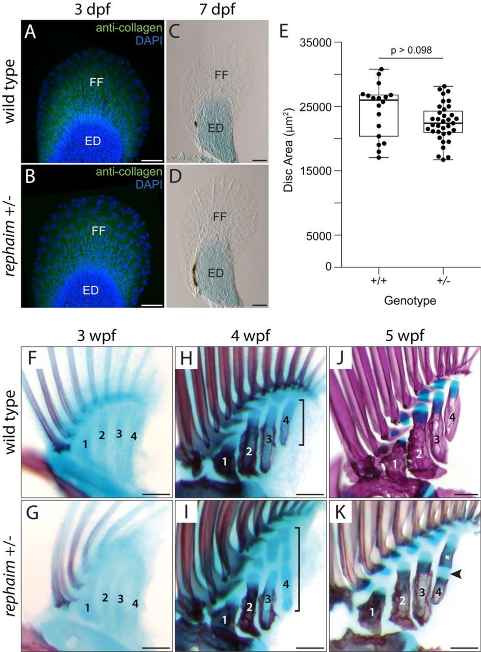 Latent developmental potential to form limb-like skeletal