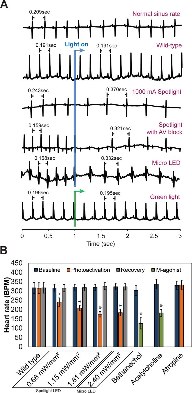 Sudden heart rate reduction upon optogenetic release of
