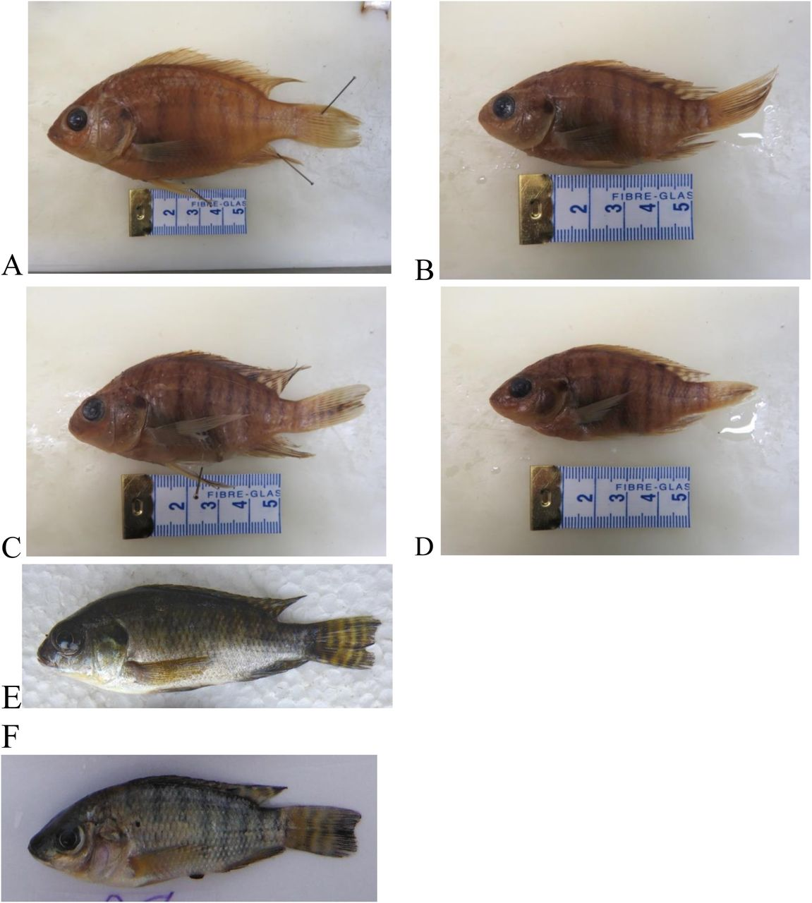A survey of fishes of Hombolo Lake, Dodoma, Tanzania, with