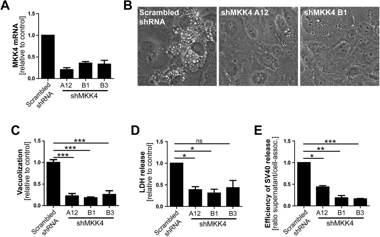 SV40 polyomavirus activates the Ras-MAPK signaling pathway