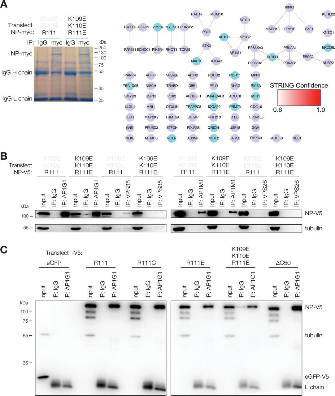 An emergent Ebola virus nucleoprotein variant influences