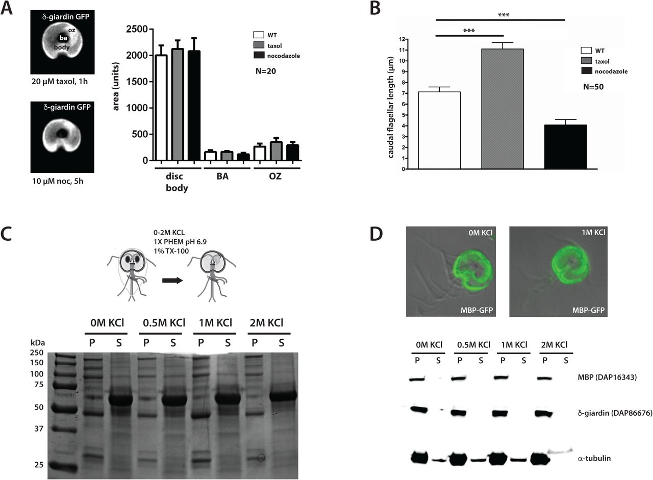 The hyperstability and composition of Giardia's ventral disc
