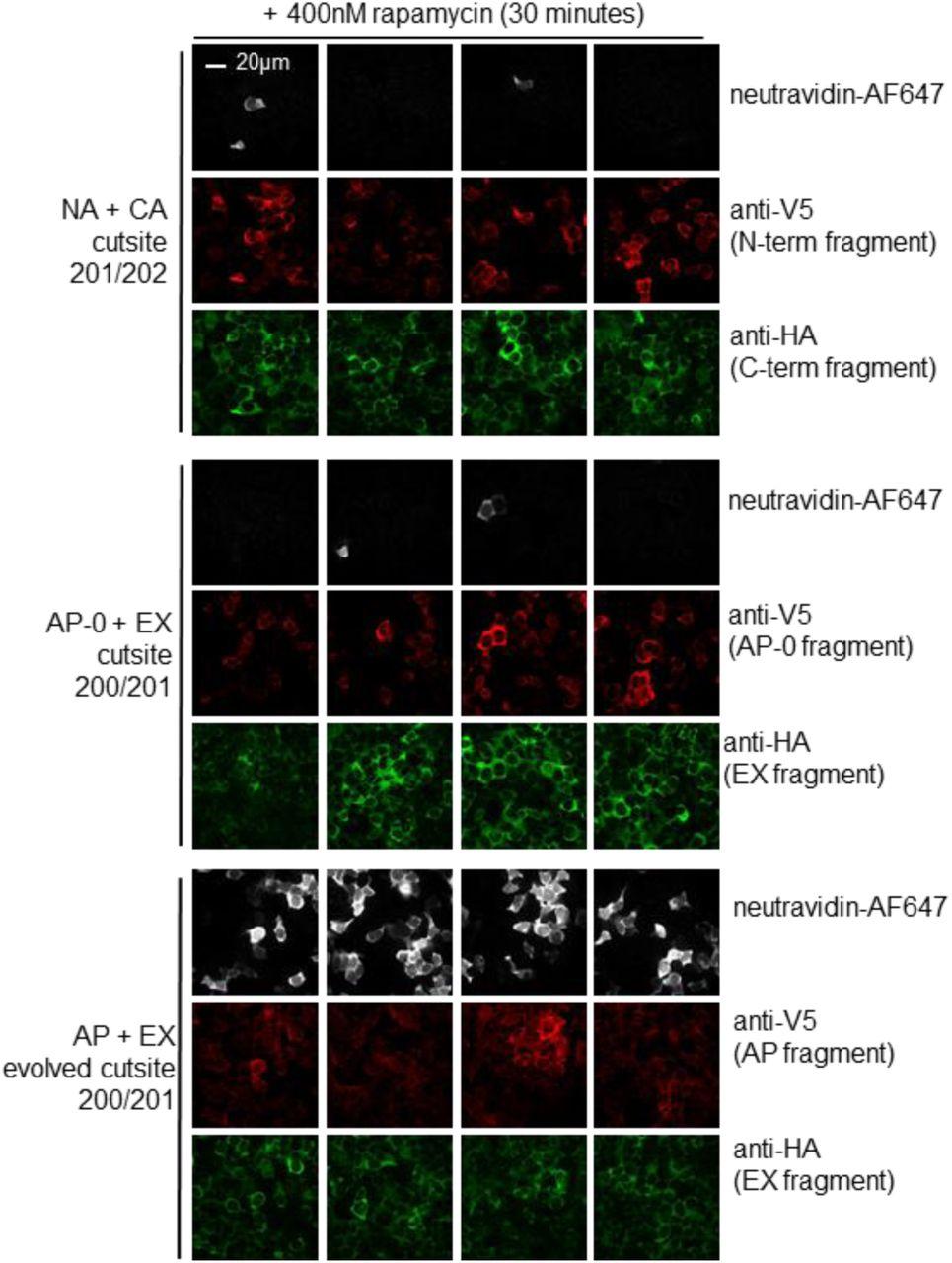 Directed evolution of split APEX peroxidase | bioRxiv