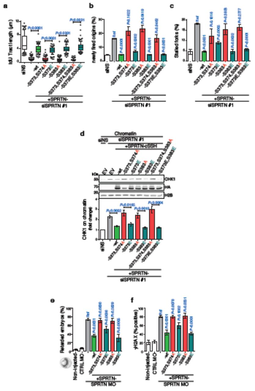 SPRTN Protease and Checkpoint Kinase 1 Cross-Activation Loop