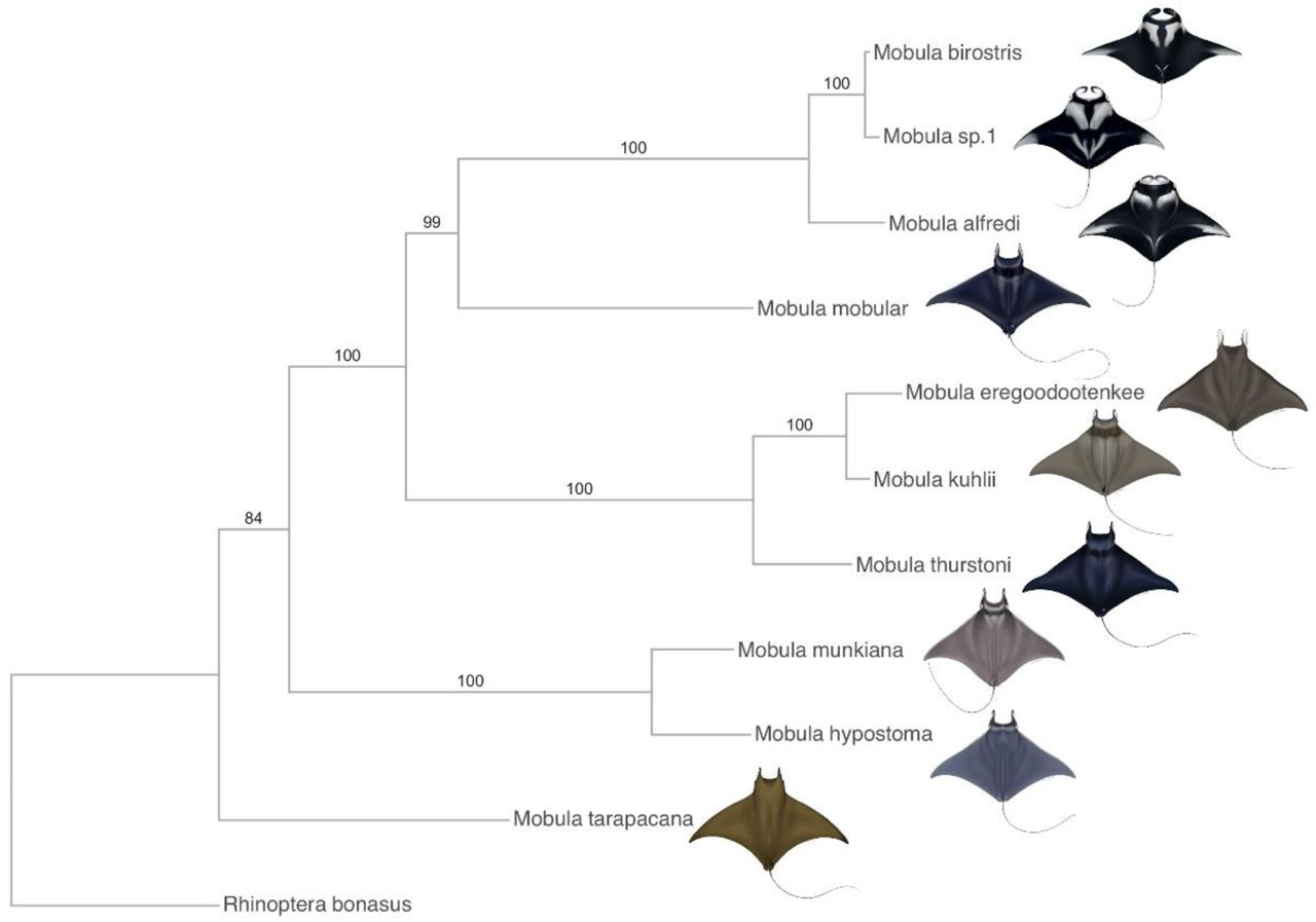 Phylogenomics and species delimitation of mobulid rays reveals