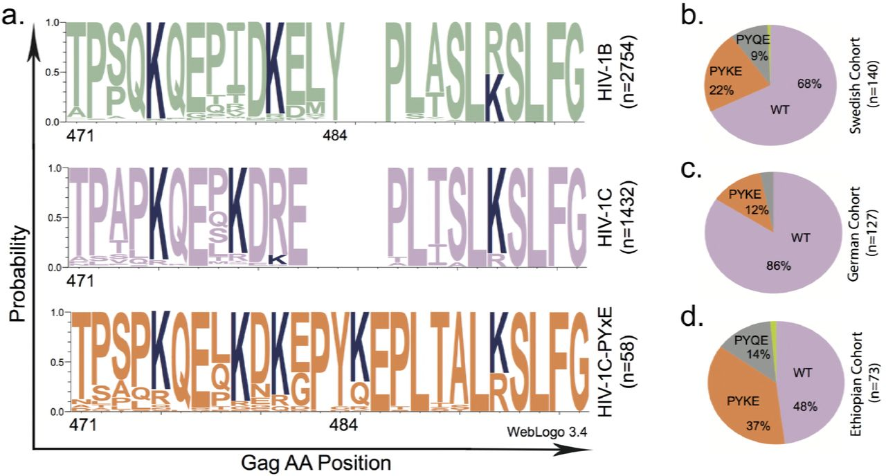 HIV-1 subtype C with PYxE insertion has enhanced binding of gag-p6