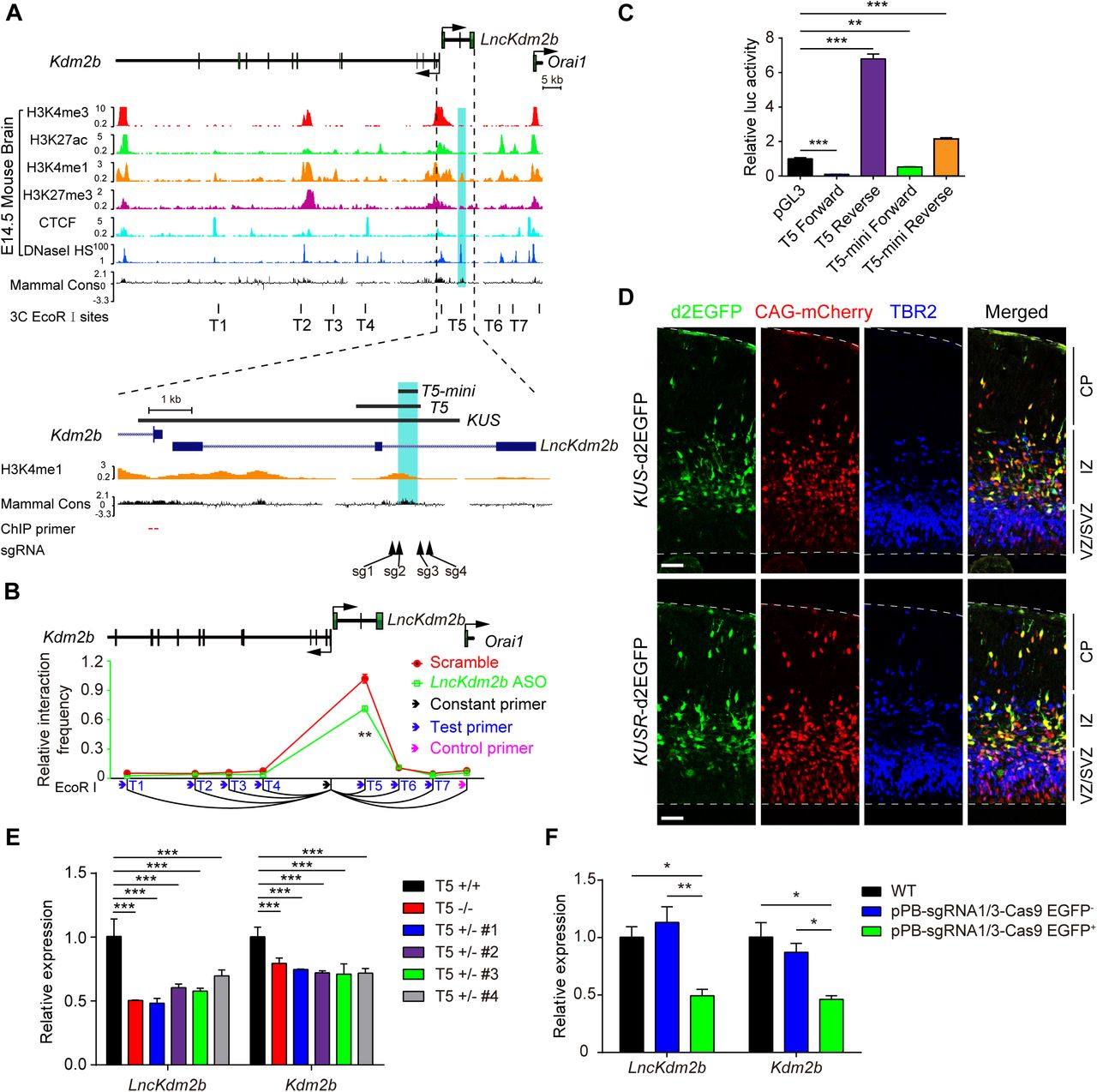 Long Non-Coding RNA LncKdm2b Regulates Cortical Neuronal