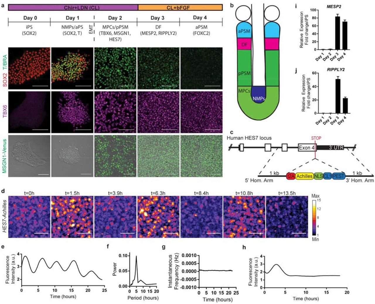 In vitro characterization of the human segmentation clock