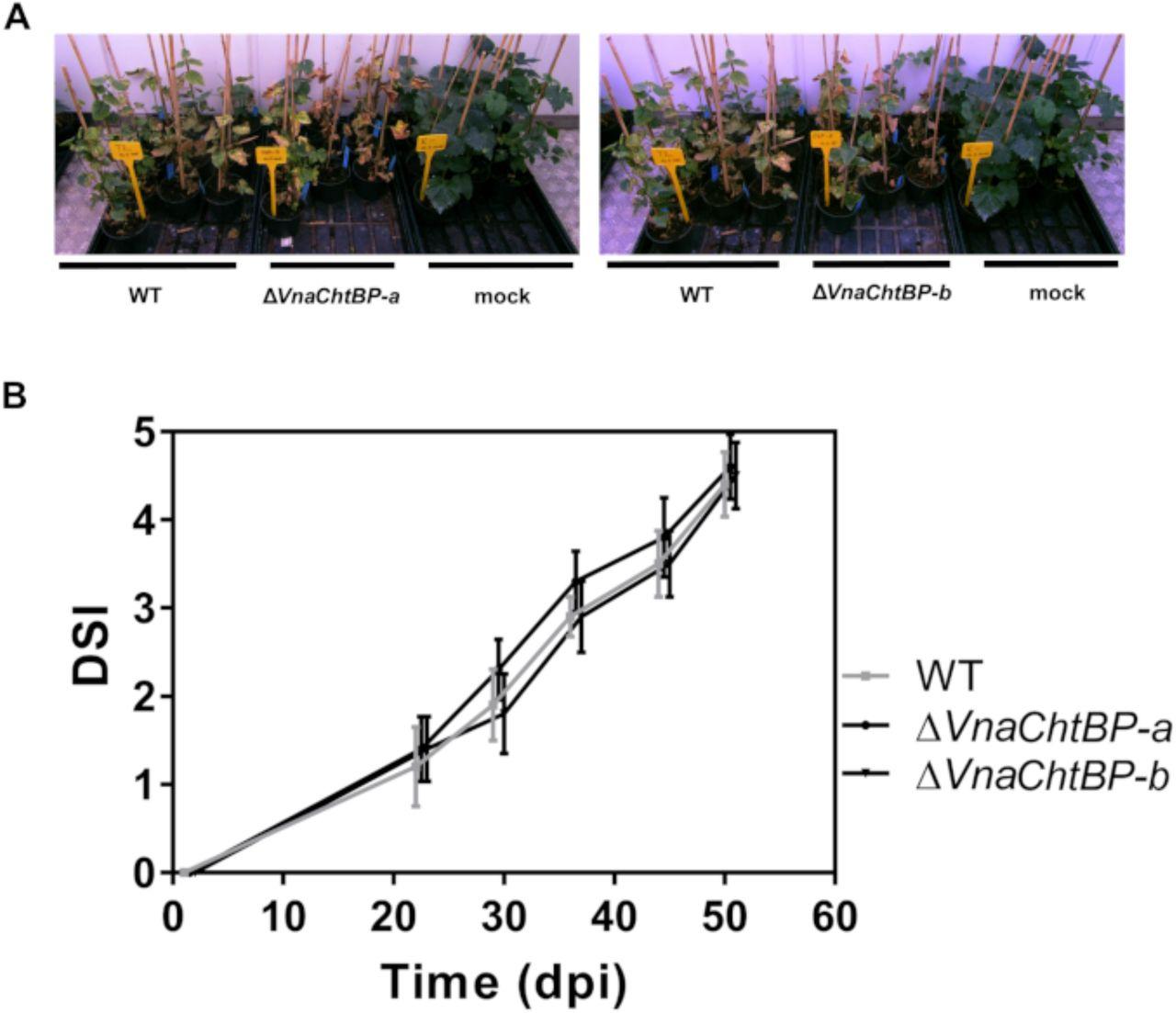The invisibility cloak: Chitin binding protein of Verticillium