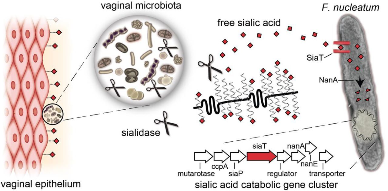 F. nucleatum 23726 takes up and catabolizes free sialic acid released by exogenous sialidases Sialidase-producers in the vaginal microbial community release free sialic acids (red diamonds) from host glyco-conjugates, which may be accessed by F. nucleatum , which does not produce sialidase. SiaT = sialic acid transporter; NanA = N -acetylneuraminate lyase; More information about F. nucleatum genes shown in sialic acid catabolic gene cluster, and the enzymes they encode, can be found in Table S2 .