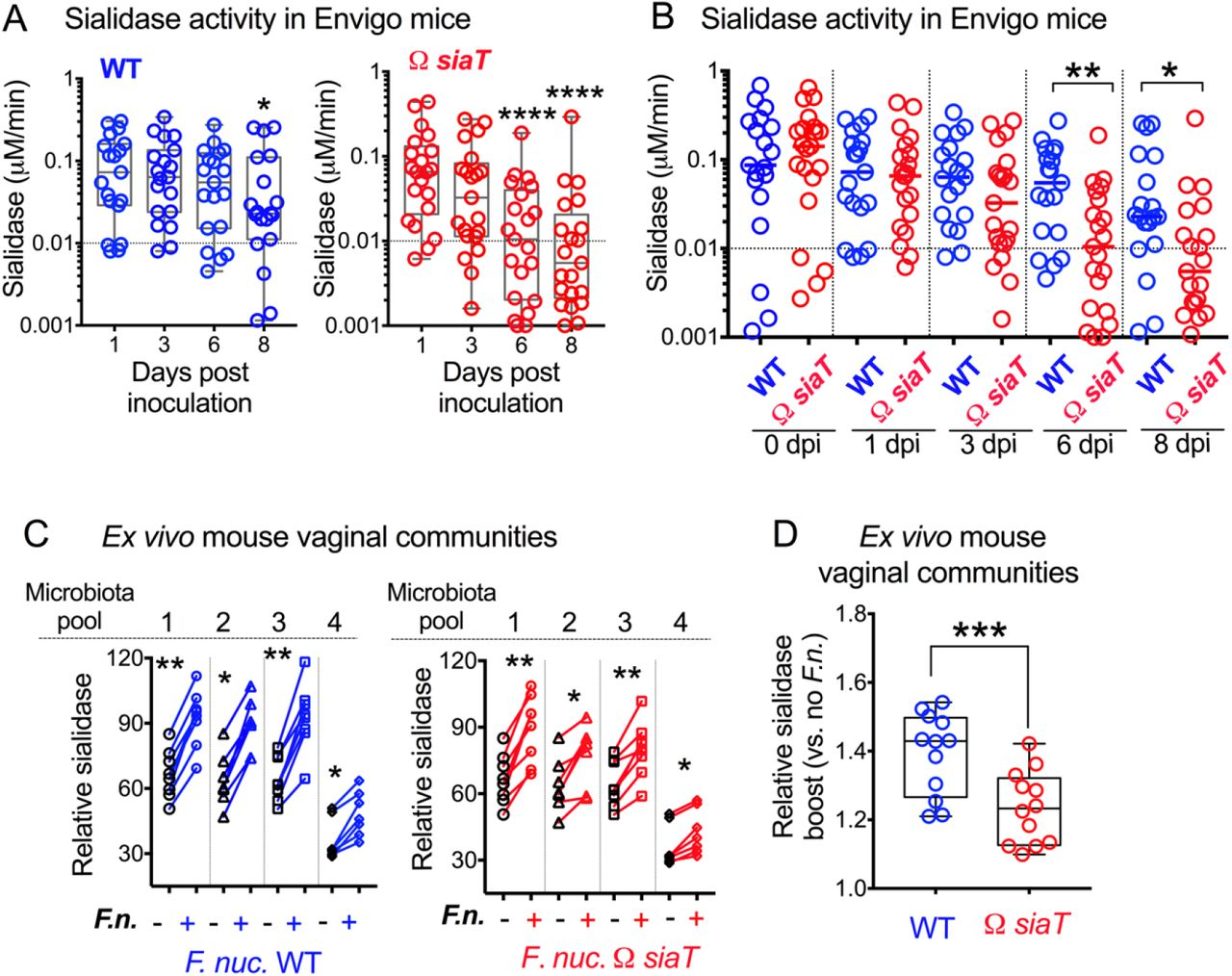 """Sialidase activity in ex vivo cultured vaginal microbial communities from Envigo mice increases in presence of F. nucleatum (A) Sialidase activity in vaginal washes from 1 to 8 dpi from individual animals purchased from Envigo, estrogenized, and inoculated with either WT or ΩsiaT F. nucleatum . Data at later time points were compared to day 1 values using Friedman test, along with correction for multiple planned comparisons using Dunn's test. (B) Same experiment and data as shown in A but analyzed to compare between WT or ΩsiaT- inoculated animals at each time point using the Mann-Whitney test. Data in A and B represent combined data from two independent experiments. Data points with negative values were set to 0.001 to represent them on the log scale. (C) Sialidase activity in microbiota pools from Envigo mice. Communities were cultured in the presence or absence of F. nucleatum ( F. nuc. ) WT or ΩsiaT . Each """"microbiota pool"""" consists of a cultured vaginal community from pooled vaginal wash of 4-5 co-housed mice. Wilcoxon paired-sign rank test was used for pairwise comparison of sialidase activity in each cultured microbiome compared to the identical microbiome cultured in the presence of F. nucleatum . Data shown is combined from 4 independent biological replicates with 7-8 technical replicates for each microbiota pool. (D) Same experimental data as in C . Data shown is combined from all microbiota pools for each group and analyzed to allow for comparison of the relative sialidase boost between no added F. nucleatum ( F.n. ) versus addition of WT or ΩsiaT . A statistical comparison between the two groups was performed using Wilcoxon matched-pairs signed rank test. Data shown is combined from 3 independent biological replicates. Line in the bar indicates mean value. On all graphs *P"""