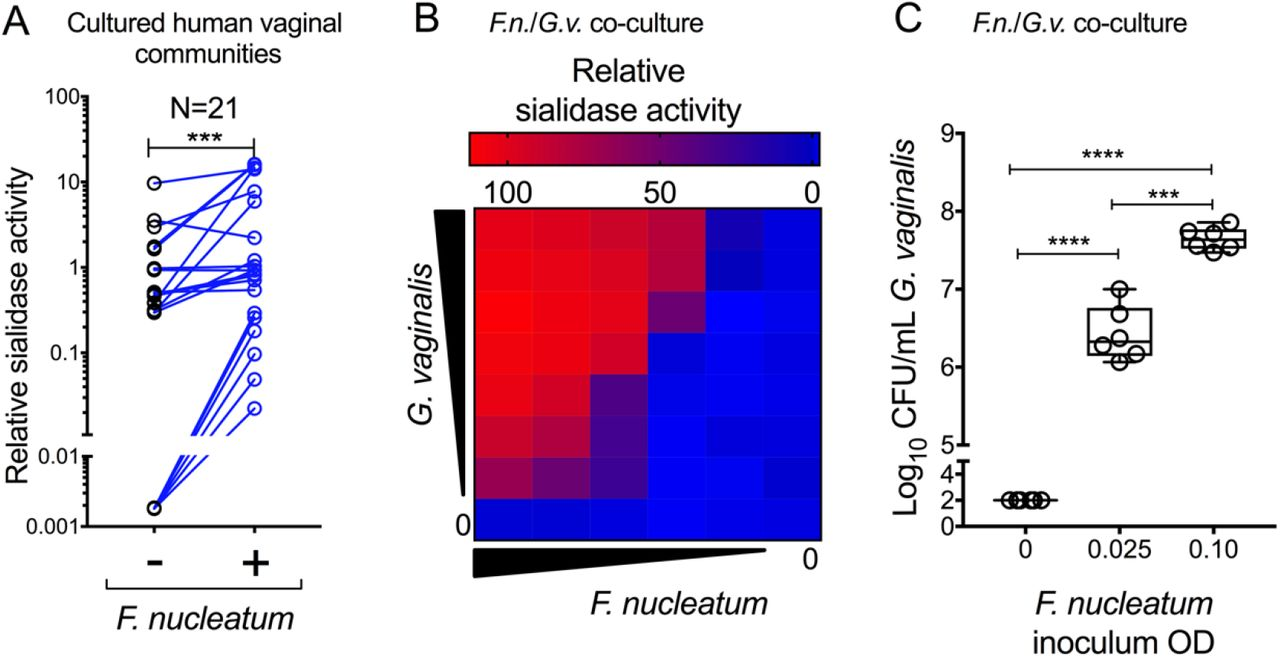 F. nucleatum supports growth and sialidase production by human BV bacteria (A) Human vaginal communities were cultivated anaerobically in Columbia media in the presence or absence of added F. nucleatum . Sialidase activity was measured following anaerobic culture. Communities from 21 individual women were used. Data are combined from 2 independent experiments. A statistical comparison between the two groups was performed using Wilcoxon matched-pairs signed rank test. Negative values were set to 0.0018 (lowest positive value) to depict them on the log scale. (B-C) G. vaginalis ( G.v. ) was co-cultivated anaerobically in Columbia media in the presence or absence of F. nucleatum ( F.n. ), followed by measurement of sialidase activity (B) and viable titers of G. vaginalis (colony forming units, C). Note that G. vaginalis was not detectable under these conditions in the absence of F. nucleatum. In this case, G. vaginalis levels were plotted at one half the limit of detection (LOD=200 CFU/mL). Heat map data is representative of two independent experiments. CFU data is combined from two independent experiments, each with 3 technical replicates each. On all graphs ***P