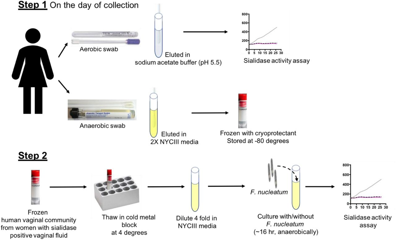 """Human vaginal microbial communities-collection and amplification. Step 1 - Anaerobic and aerobic vaginal swabs were collected on the same day from each participant. Aerobic swabs were eluted in sodium acetate buffer (pH 5.5) and <t>sialidase</t> activity was checked in the swab eluates using fluorogenic 4MU-Neu5Ac substrate. Anaerobic swabs were eluted in 2X NYCIII media (in an anaerobic chamber) and the communities were """"fresh frozen"""", without any amplification / overnight culture , by mixing with cryoprotectant and storing at −80°C. Step 2 - On the day of the experiment - fresh frozen anaerobic vaginal communities, from women who had detectable sialidase activity in their aerobic swab eluates, were thawed at 4°C and diluted 4-fold in NYCIII media (in an anaerobic chamber). The diluted communities were used for co-culture experiments with F. nucleatum ."""