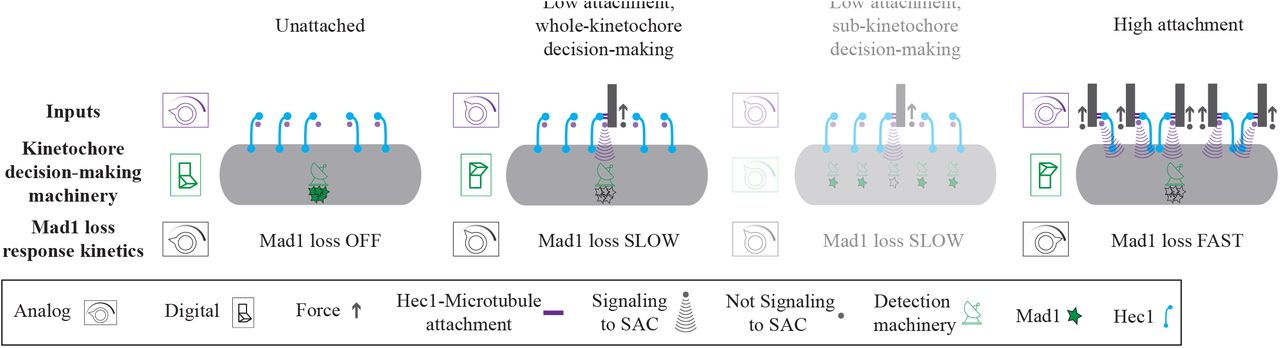Mammalian kinetochores count attached microtubules in a