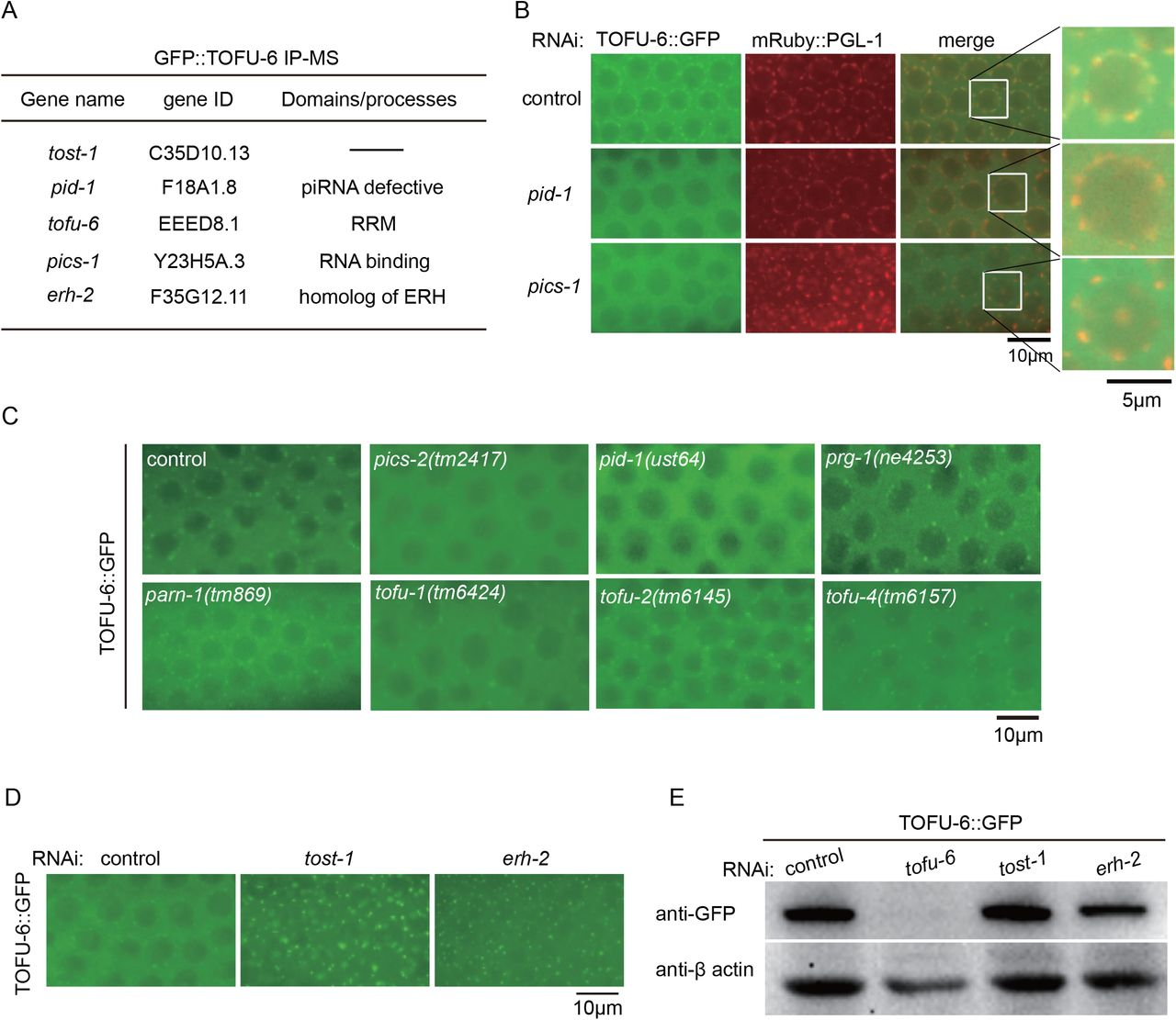 Identification of TOFU-6 binding proteins by functional proteomics. (A) Summary of IP-MS followed by feeding RNAi experiments of TOFU-6::GFP. (B) Images of TOFU-6::GFP and P-granule marker mRuby::PGL-1 after RNAi targeting pid-1 and pics-1 . (C) Images of TOFU-6::GFP in indicated animals. (D) Images of TOFU-6::GFP after RNAi targeting tost-1 and erh-2 . (E) Western blotting of TOFU-6::GFP after RNAi targeting tost-1 and erh-2 .