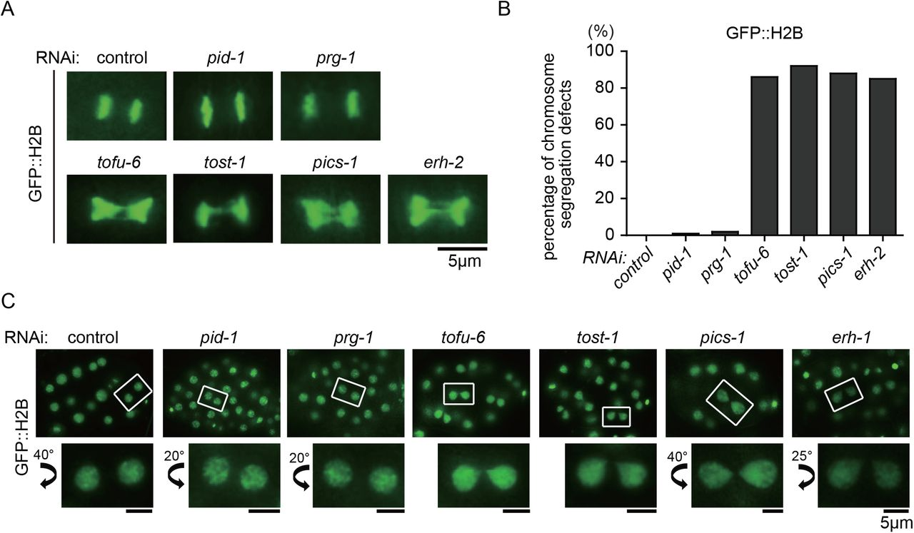 TOFU-6, PICS-1, ERH-2 and TOST-1 are required for chromosome segregation and cell division. (A) Images of GFP::H2B at meta-anaphase stage after RNAi targeting indicated genes in embryos. (B) Diagram displaying percentage of abnormal chromosome segregation. (C) Images of GFP::H2B in late embryos after RNAi targeting indicated genes.