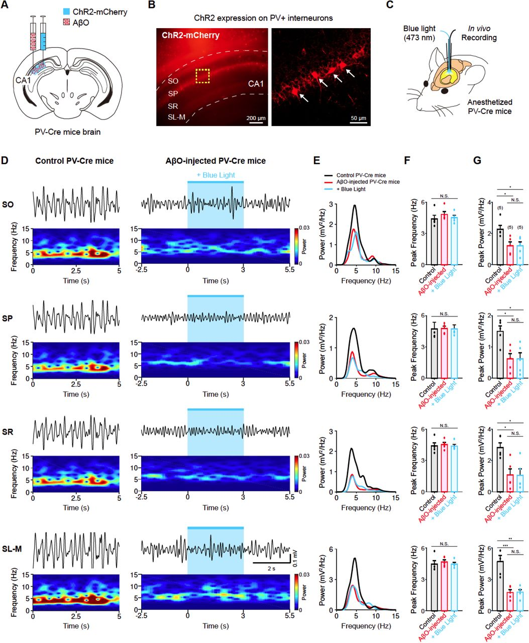 Optogenetic activation of PV+ interneurons had no effect on impaired theta oscillation of AβO-injected PV-Cre mice (A) Schematic illustration of micro-injection of AβO and ChR2 virus into hippocampal <t>CA1</t> region of PV-Cre mice. (B) Fluorescence image of ChR2 expressed PV+ interneurons in hippocampal CA1 region. Individual neurons are pointed by white arrows. (C) Schematic illustration of in vivo recording. (D) Example traces of spontaneous theta-filtered LFP signals (top) and spectrogram (bottom) recorded in control PV-Cre mice (left) and AβO-injected PV-Cre mice (right). The 3 s-long blue light stimulation of PV+ interneuron s is represented by light blue shaded region. (E) Example traces of PSD curves obtained from the spontaneous theta oscillation recorded in control PV-Cre mice (black), AβO-injected PV-Cre mice (red) and AβO-injected PV-Cre mice with blue light (blue). (F-G) Mean peak frequency (F) and mean peak power (G) of spontaneous theta-filtered LFP signals of control PV-Cre mice (black, n = 5), AβO-injected PV-Cre mice (red, n = 5) and AβO-injected PV-Cre mice with blue light (blue, n = 5). All data represent mean ± SEM. Inset: N.S. p > 0.05, ∗ p