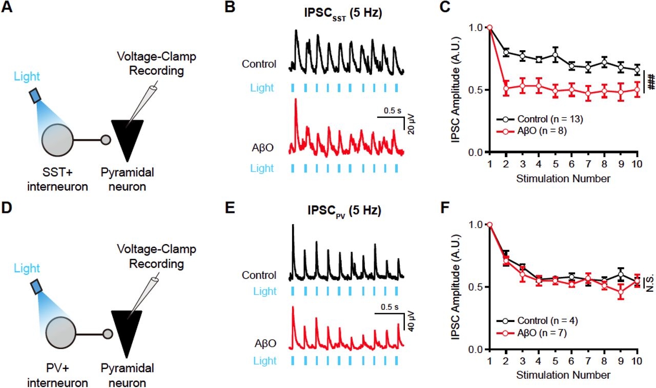 AβO causes selective synaptic dysfunction of SST+ interneuron inputs to CA1 pyramidal neuron at theta-frequency (A) Schematic illustration of voltage-clamp recording of inhibitory postsynaptic current (IPSC) evoked by optical stimulation of SST+ interneuron (IPSC SST ) in CA1 pyramidal neuron using blue light. (B) Example traces of IPSC SST evoked by blue light stimulation at 5 Hz in DMSO-treated slice (control, top, black) and AβO-treated slice (AβO, bottom, red). (C) Short-term plasticity of IPSC SST in control (black) and AβO slices (red, two-way ANOVA, control: n = 13, AβO: n = 8). (D) Schematic illustration of voltage-clamp recording of PV+ interneuron-driven IPSC (IPSC PV ) onto CA1 pyramidal neuron using blue light stimulation. (E) Example traces of IPSC PV by blue light stimulation at 5 Hz in the control (top, black) and AβO slice (bottom, red). (F) Short-term plasticity of IPSC PV in control (black) and AβO slices (red, two-way ANOVA, control: n = 4, AβO: n = 7). All data represent mean ± SEM. Inset: ### p