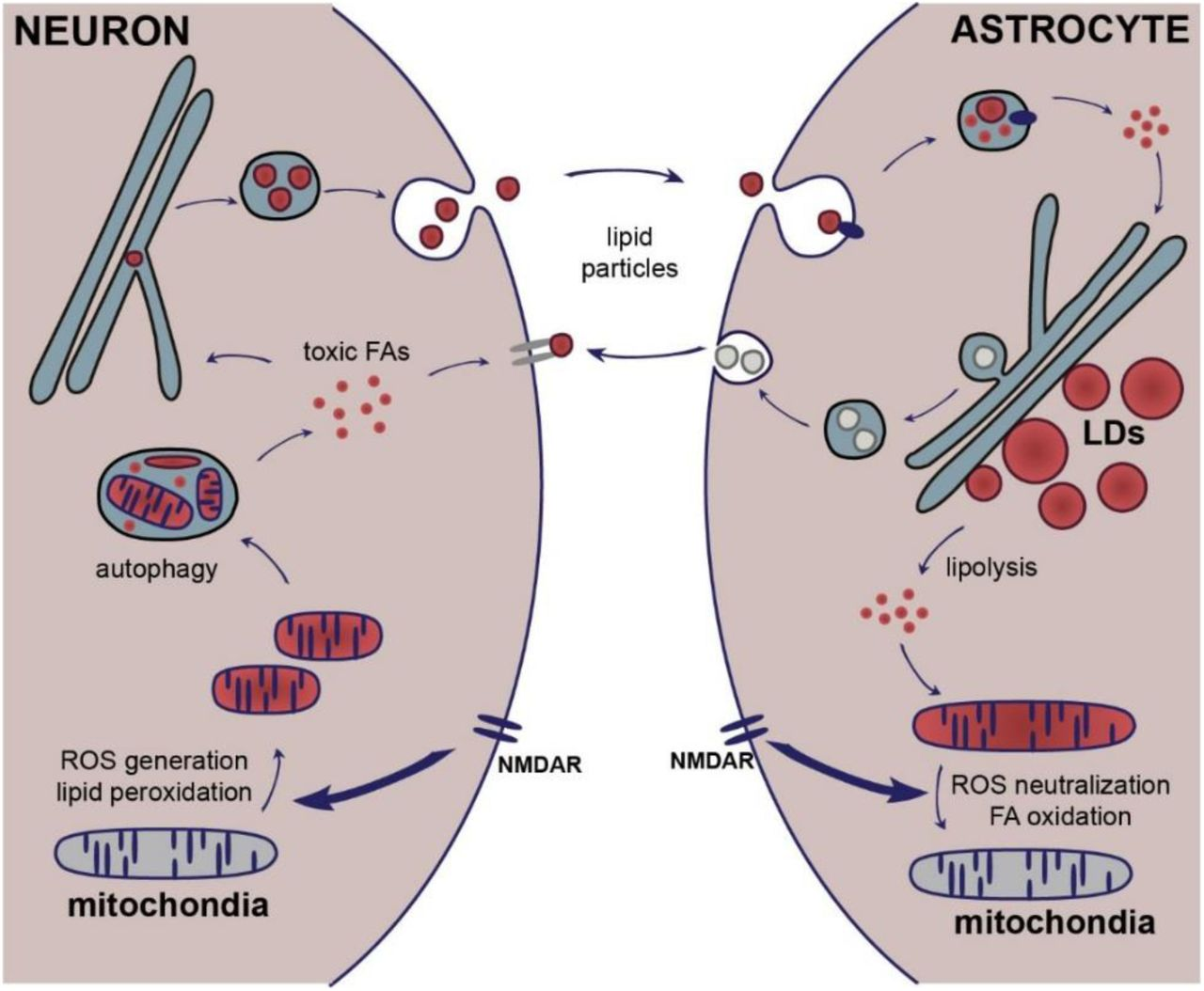 Neuron-astrocyte metabolic coupling during neuronal