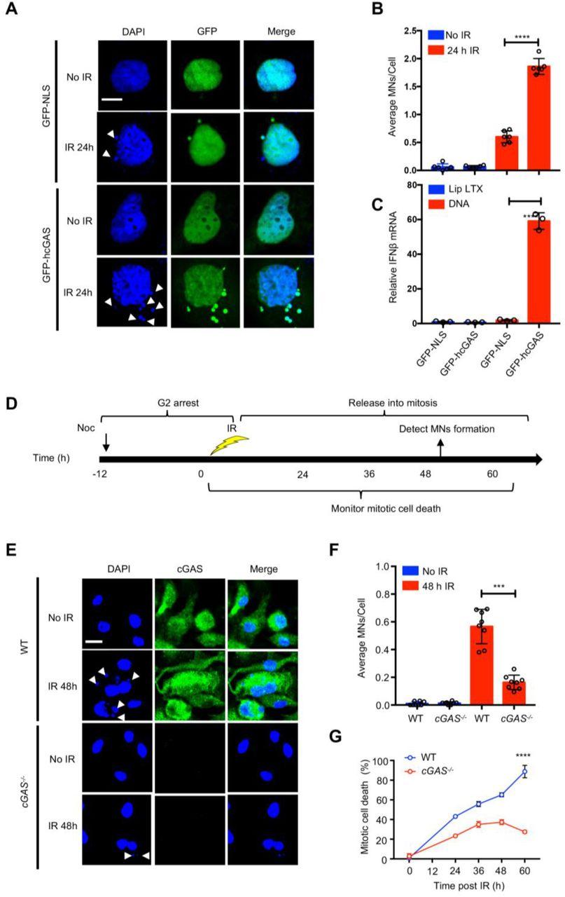 The innate immune DNA sensor cGAS is a negative regulator of