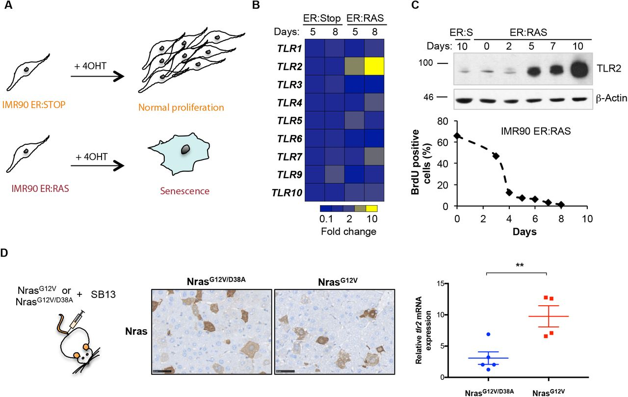The innate immune sensor Toll-like receptor 2 controls the