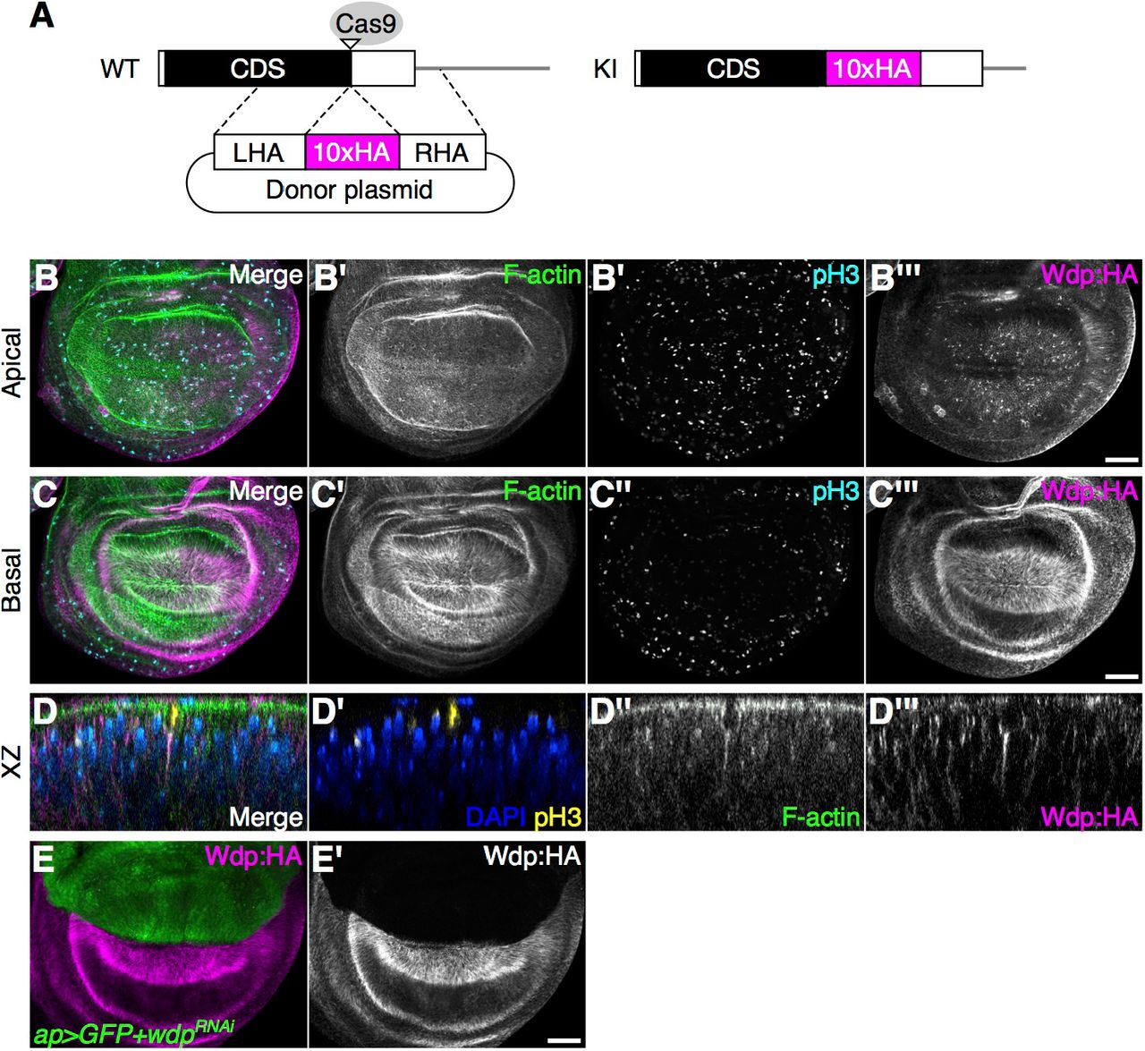Chondroitin sulfate proteoglycan Windpipe modulates Hedgehog