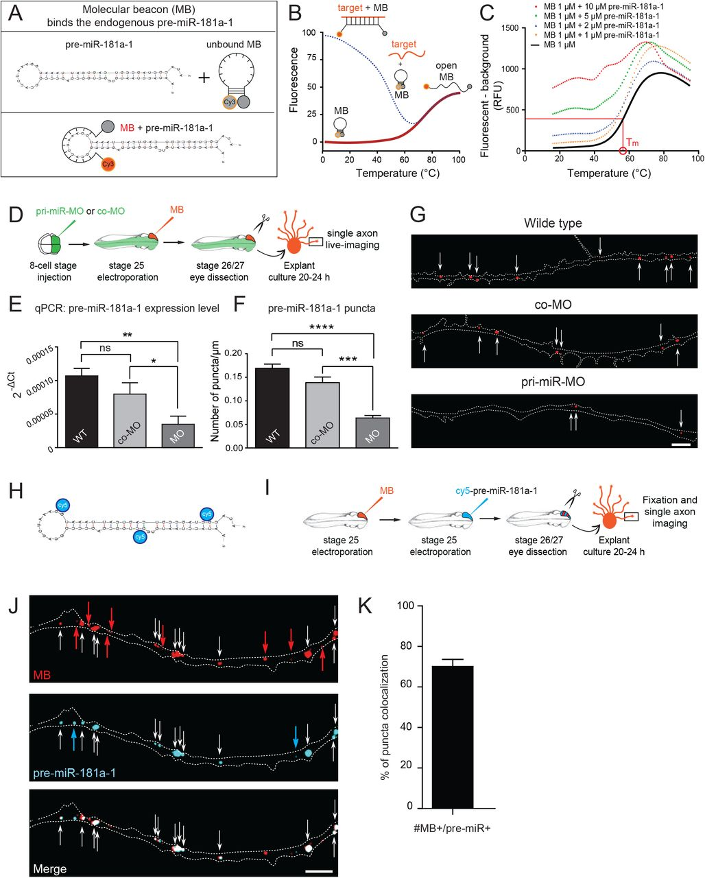 Precursor miRNAs are trafficked along axons associated with vesicles