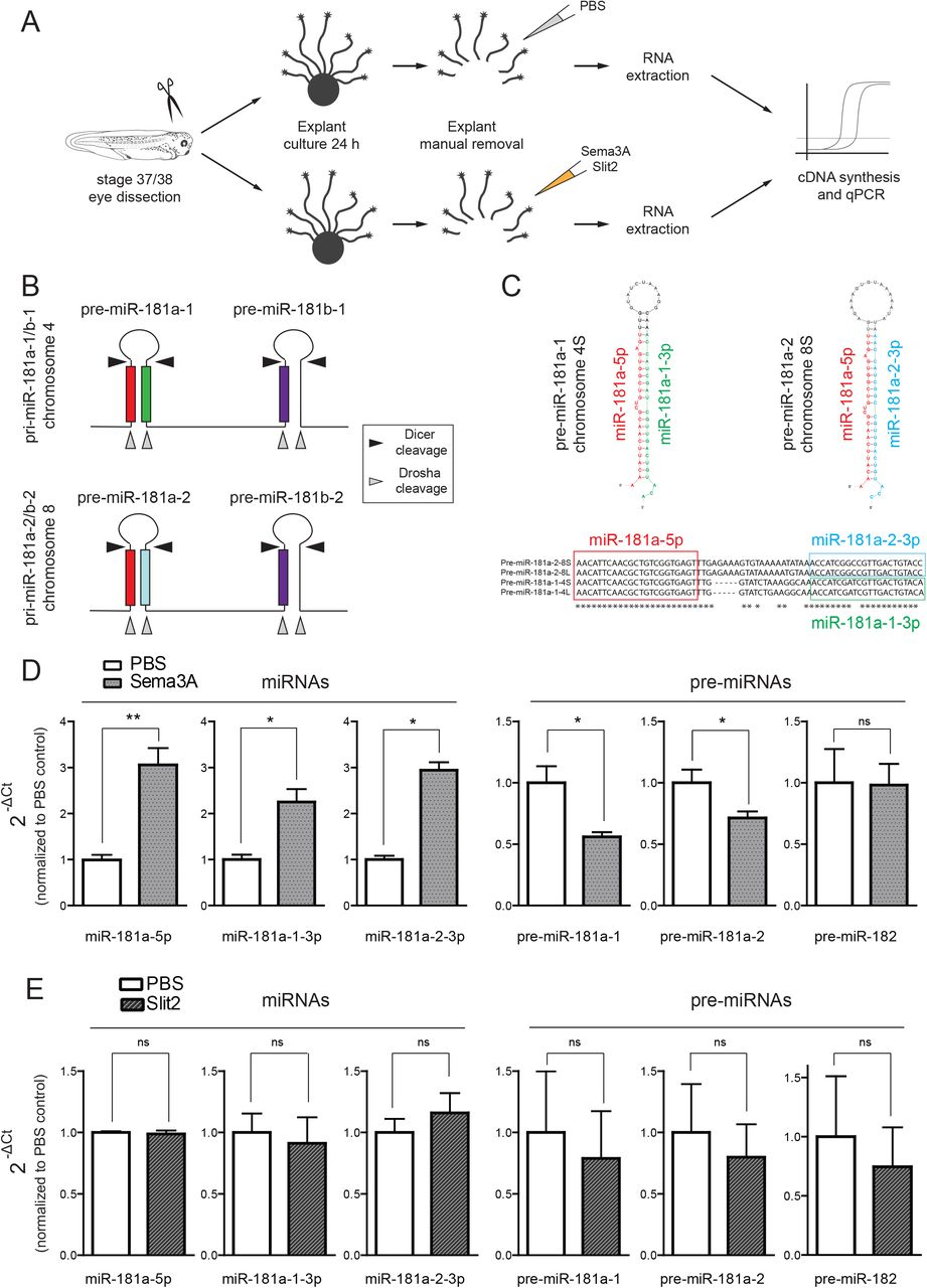 Precursor miRNAs are trafficked along axons associated with