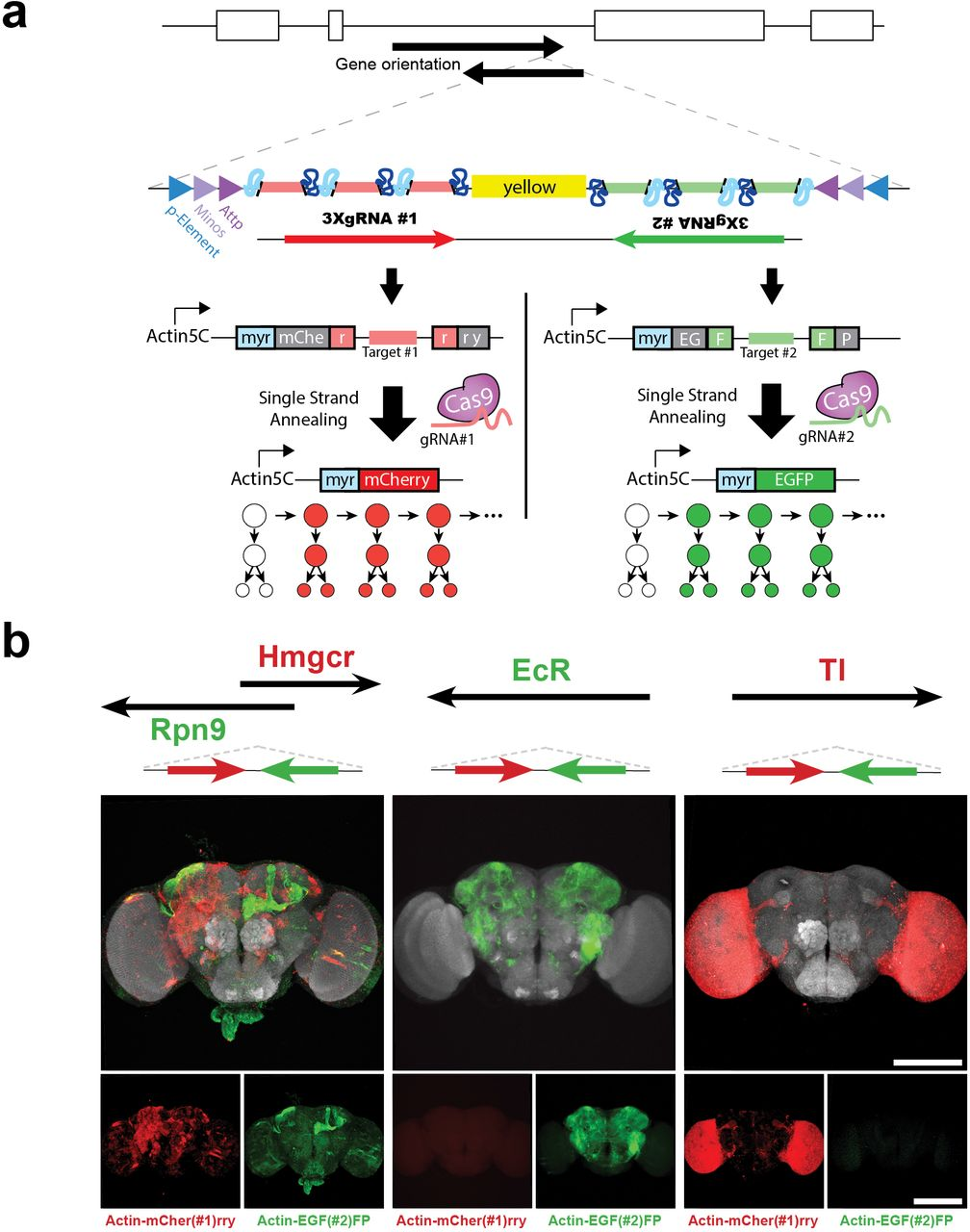 Unlimited genetic switches for cell-type specific