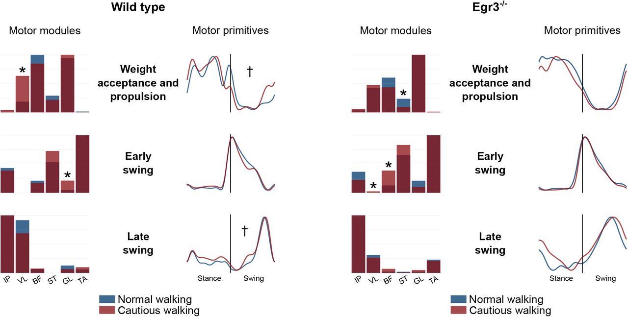 Modular organization of the murine locomotor pattern in