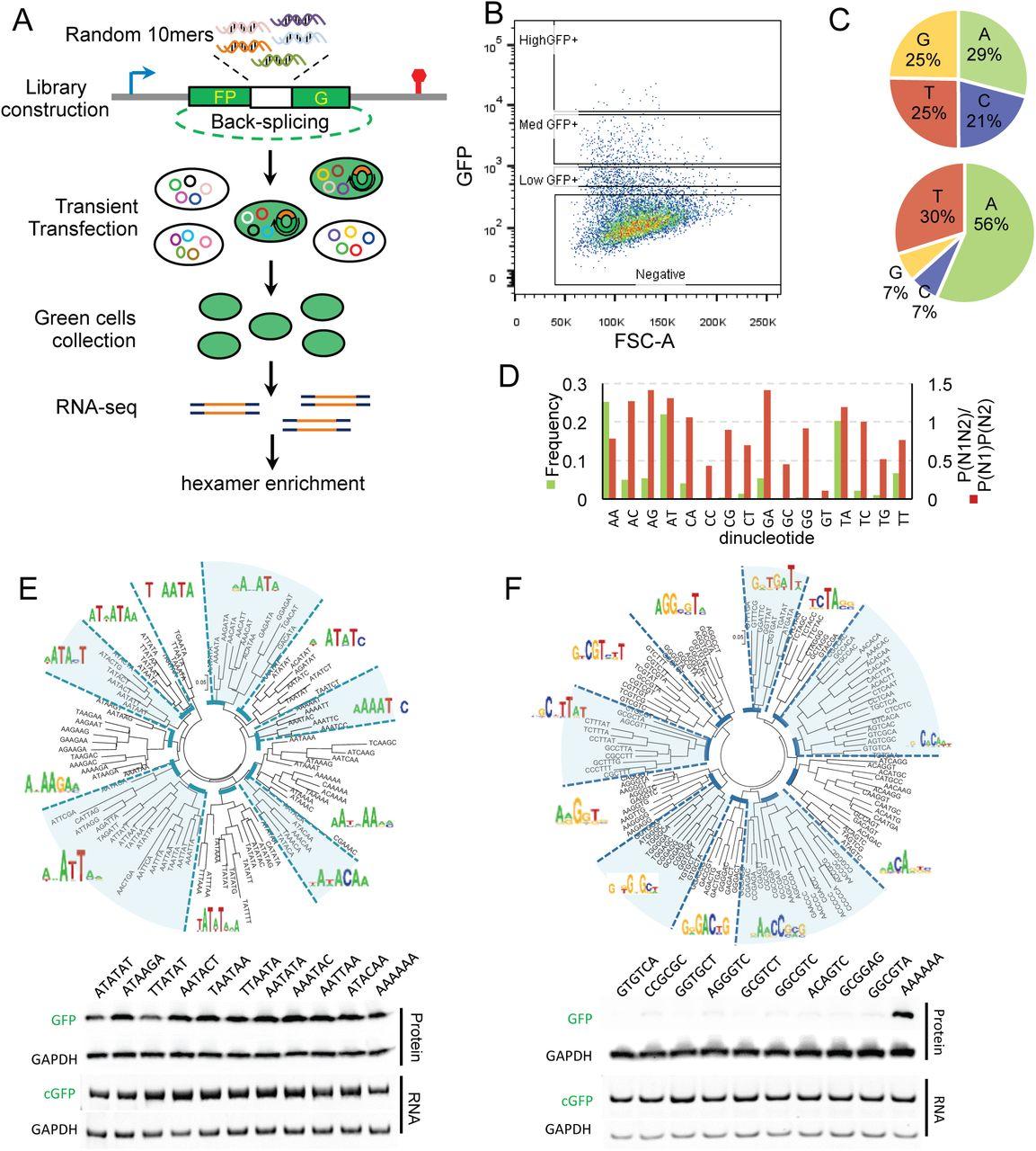 Pervasive translation of circular RNAs driven by short IRES