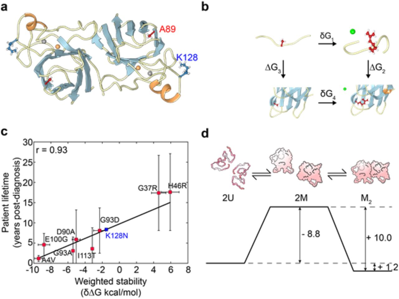 In Silico Determined Properties of Designed Superoxide