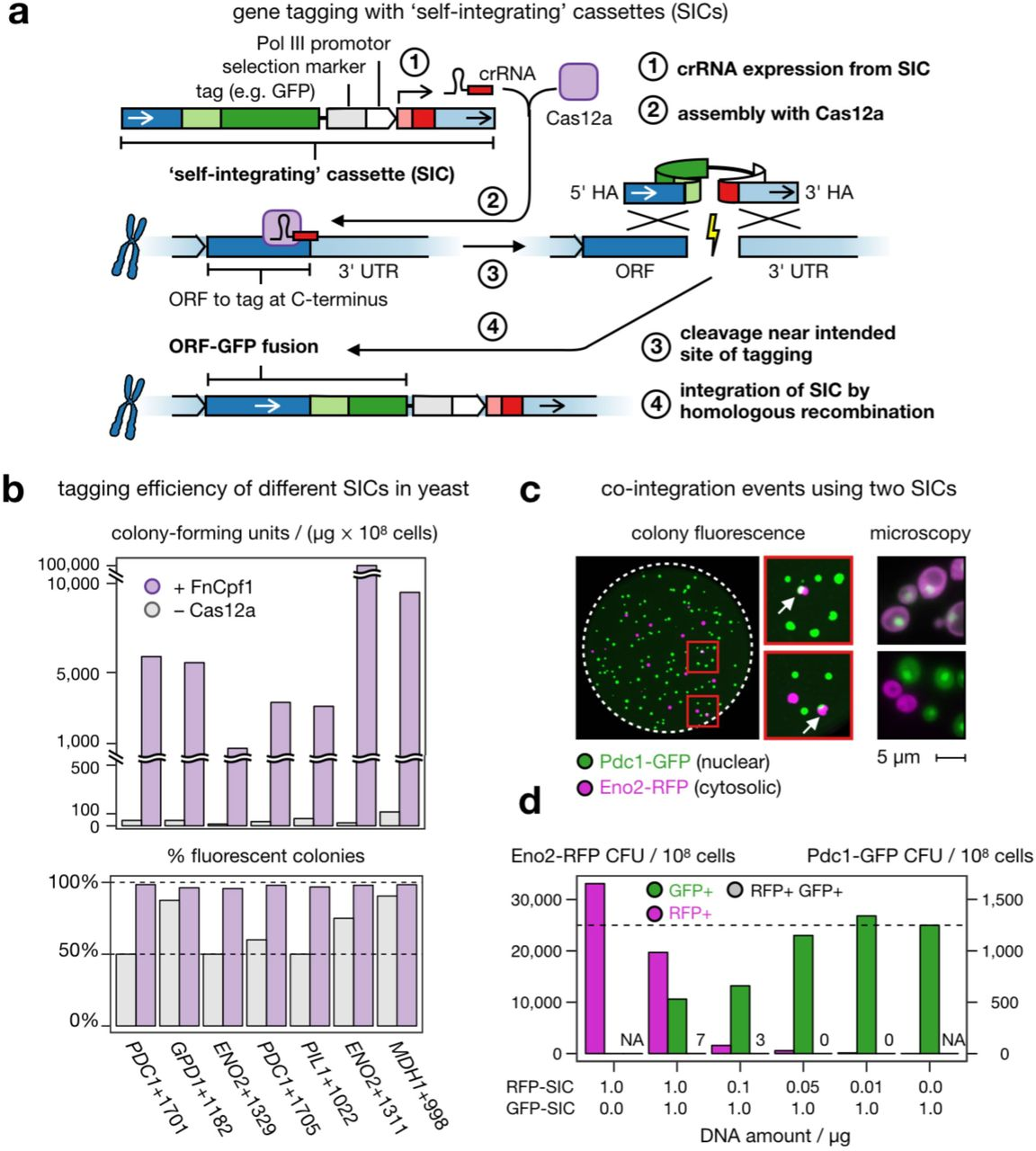 CRISPR-Cas12a-assisted single gene-tagging in yeast. ( a ) After transformation of the self-integrating cassette (SIC) into a cell, the crRNA expressed from the SIC directs a CRISPR-Cas12a endonuclease to the genomic target locus where the DNA double-strand is cleaved. The lesion is repaired by homologous recombination using the SIC as repair template so that an in-frame gene fusion is observed. ( b ) Efficiency of seven SICs of C-terminal tagging of highly expressed open-reading frames (ORFs) with a fluorescent protein reporter, in the absence (grey) or presence (purple) of FnCas12a. Colony-forming units (CFUs) per microgram of DNA and cells used for transformation, and integration fidelity by colony fluorescence are shown. ( c ) Co-integration events upon simultaneous transformation of two SICs directed against either ENO2 or PDC1 . Both SICs confer resistance to Geneticin (G-418), but contain different fluorescent protein tags. Colonies exhibiting green and red fluorescence (arrows) were streaked to identify true co-integrands. False-color fluorescence microscopy images show nuclear Pdc1-GFP in green and the cytosolic Eno2-RFP in magenta; scale bar 5 µm. ( d ) Titration of both SICs against each other (lower panel) with evaluation of GFP-tagged (GFP+), RFP-tagged (RFP+) or co-transformed (GFP+RFP+) colonies. Panels b–d: Source data are provided as a Source Data file.