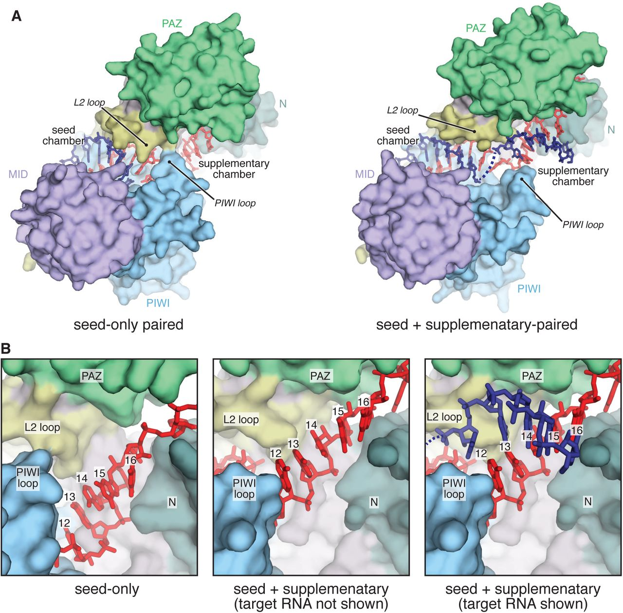 Beyond the seed: structural basis for supplementary microRNA