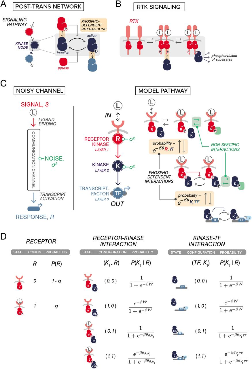 The strength of protein-protein interactions controls the