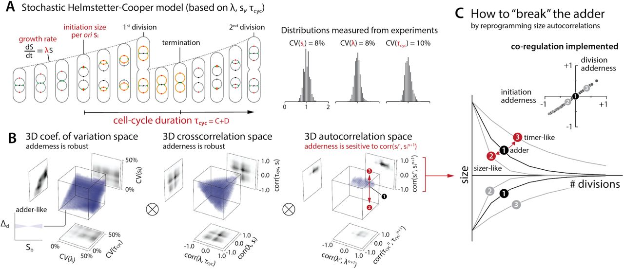 Mechanistic origin of cell-size control and homeostasis in
