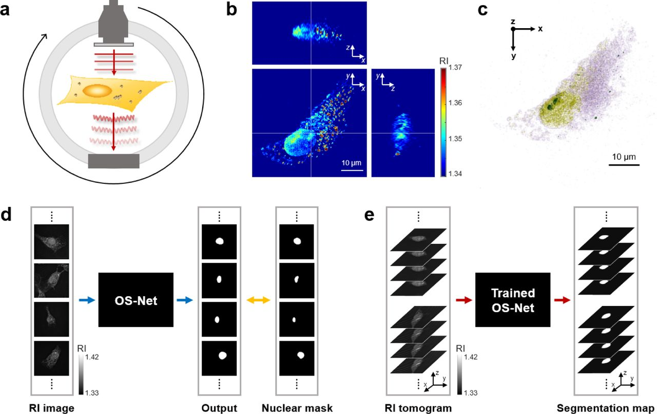 Deep-learning-based label-free segmentation of cell nuclei