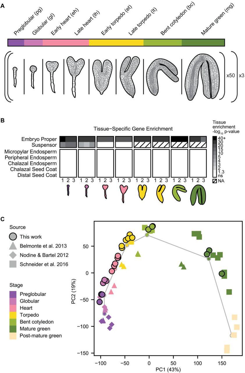The embryonic transcriptome of Arabidopsis thaliana | bioRxiv