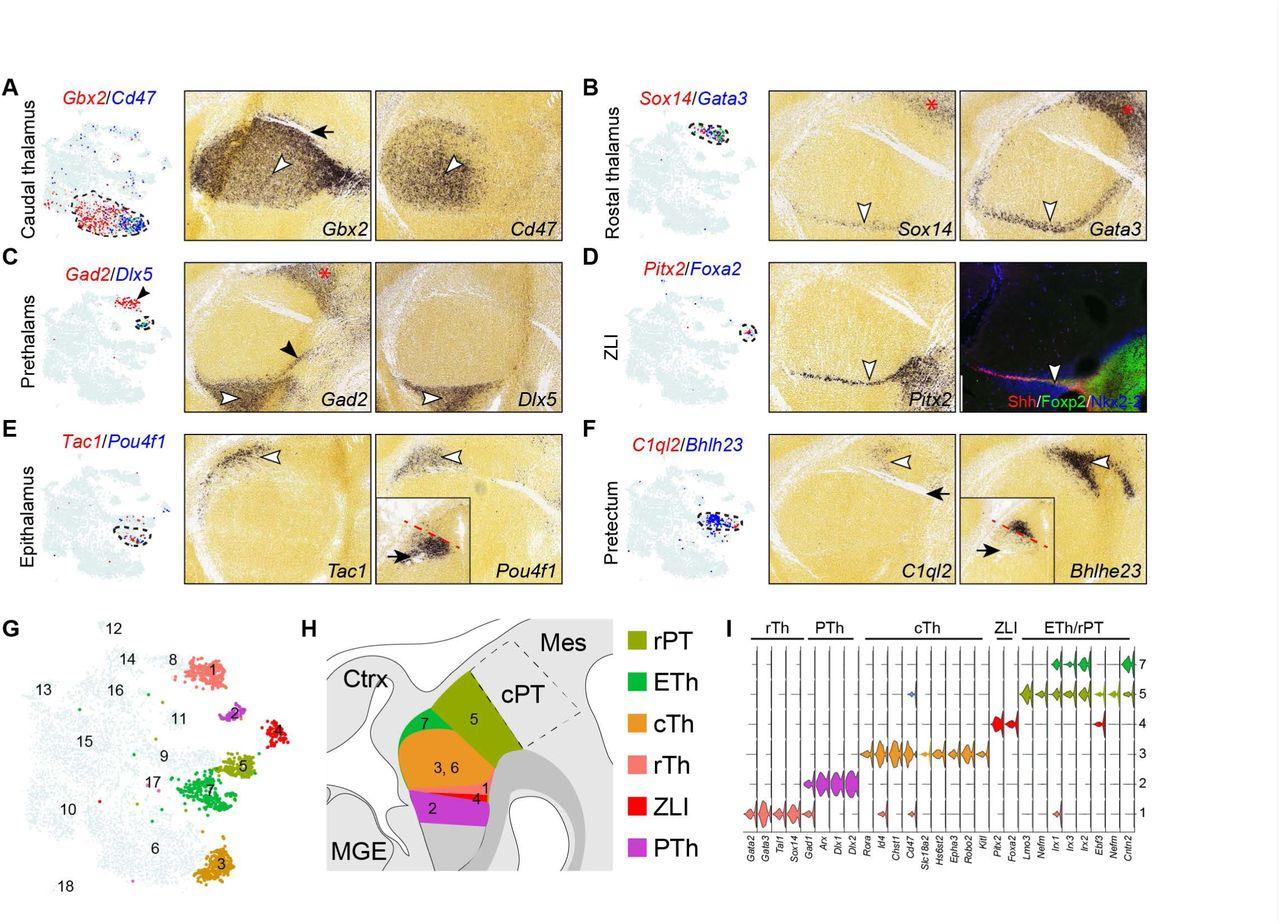 Defining developmental diversification of diencephalon