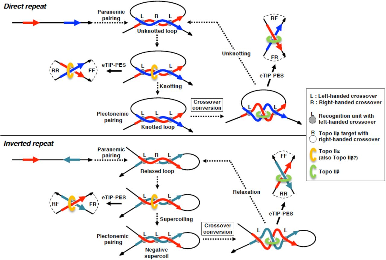 Analysis of categorized genes expressed in differentiating CGN. a Outline of the protocol used for the expression analysis in culture. RNA samples used for mRNA-seq analysis were prepared at the time points indicated. b Two-dimensional logarithmic plot of FPKM values obtained from mRNA-seq experiment. Fold-induction during differentiation (D5/D1) was plotted against fold-susceptibility to topo II inhibitor (D5/D5+). exRefSeq genes were divided into 9 groups by the dotted boarder lines that indicate 1.5- or 0.66-fold. c A pie graph and a breakdown list for the constituent expression groups. Group 'D' represents unexpressed genes. d Shared GO term analysis. Percentages of significant terms shared between other groups are plotted in the bar graph. Term numbers for hundred percent are shown in the bar. e Shared GO term analysis conducted with expression groups that are sorted into 'long' and 'short' subgroups. The threshold length was determined as in Fig. S11. Shared term numbers between sorted and unsorted were expressed as percentages of unsorted groups. f Correlation of Ts2 toposites to topo IIβ dependency. Ts2 toposites were counted either within the gene body (top) or within EU (middle). By pairwise homology search with EMBOSS Water algorithm, Ts2 pairs with high SW score (1000