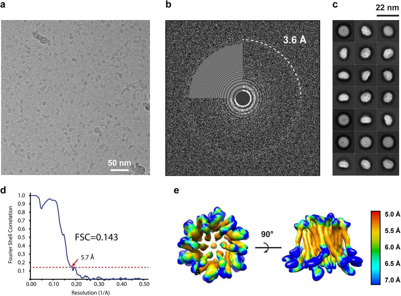 Molecular Mechanism Of The Orai Channel Activation Biorxiv