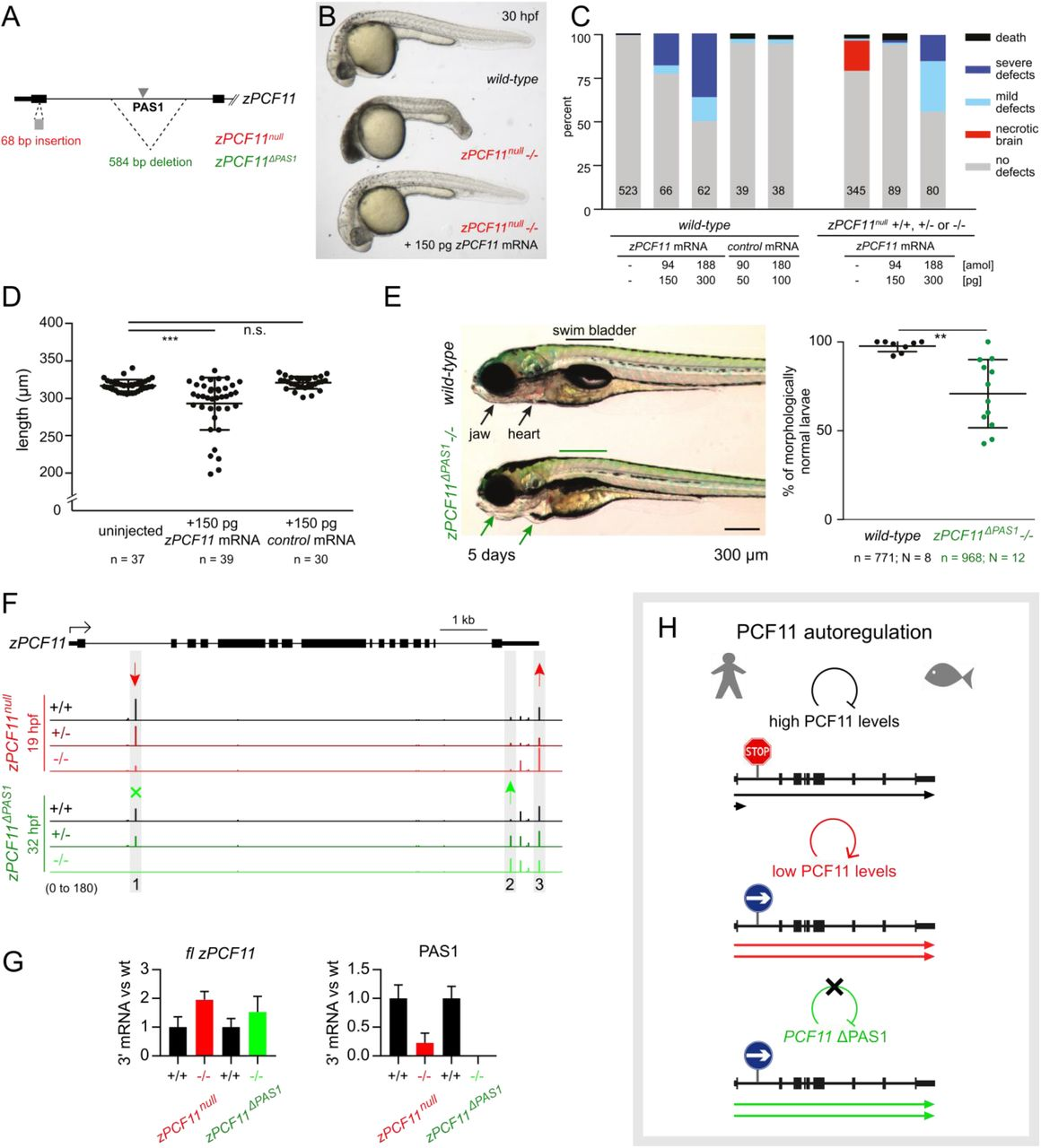 Selective roles of vertebrate PCF11 in premature and full-length