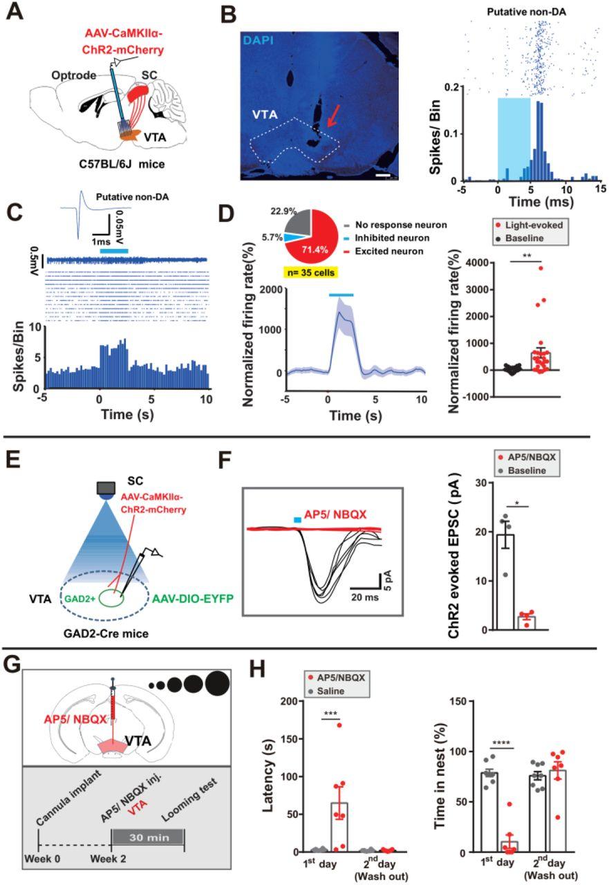A VTA GABAergic neural circuit mediates visually evoked innate